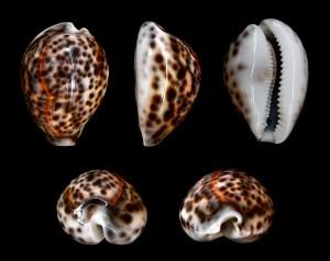 Muszle zwierząt zwanych po włosku porcellana.  Źródło: thelakesofwada.wordpress.com